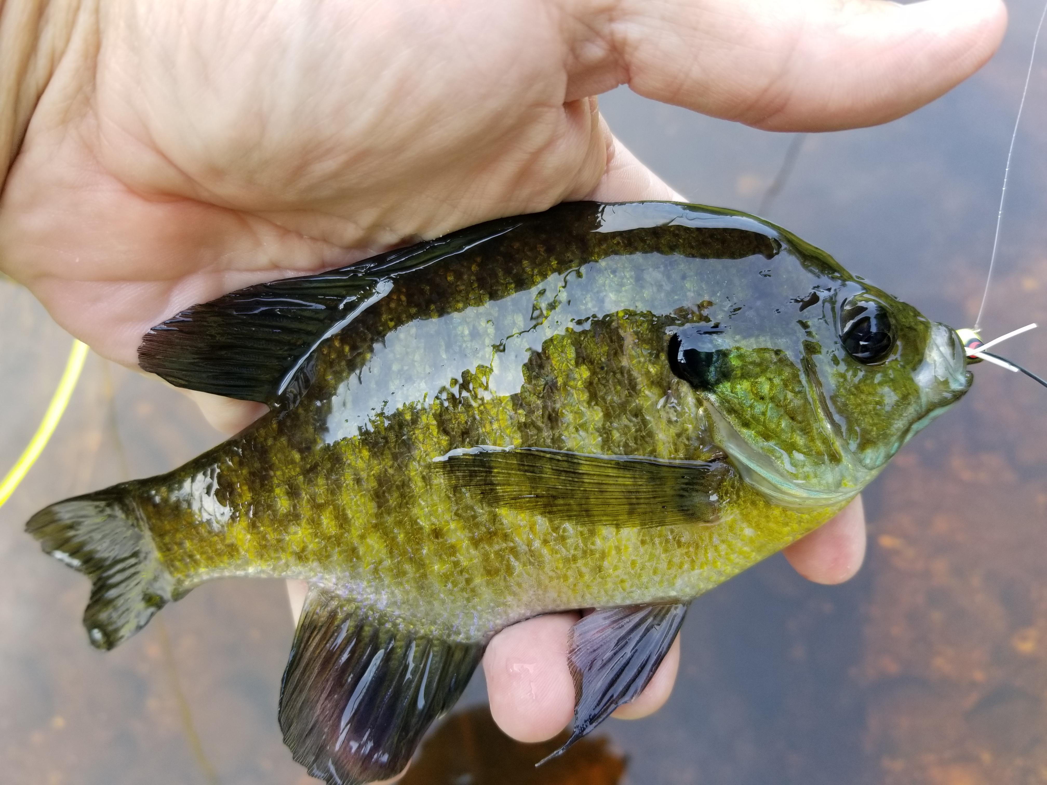 6 Black fly fishing hard body ants Ice Fishing # 14 hooks panfish bluegill trout